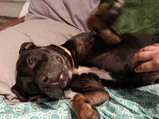 Pit bull mix at foster home gets belly rubs
