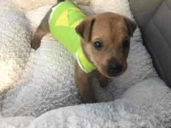 puppy with bodycast