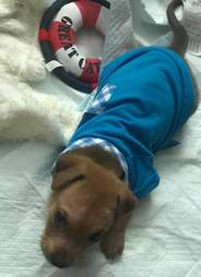 puppy wears body cast
