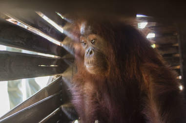 Orangutan inside wooden box