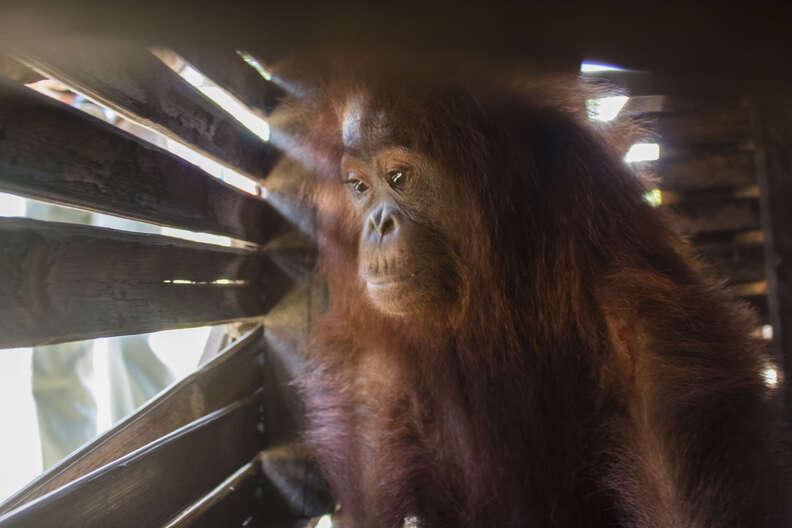 Orangutan inside wooden box