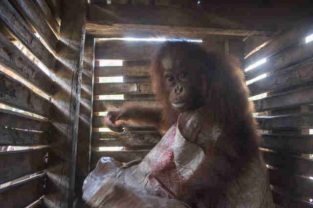 Orangutan inside wooden crate