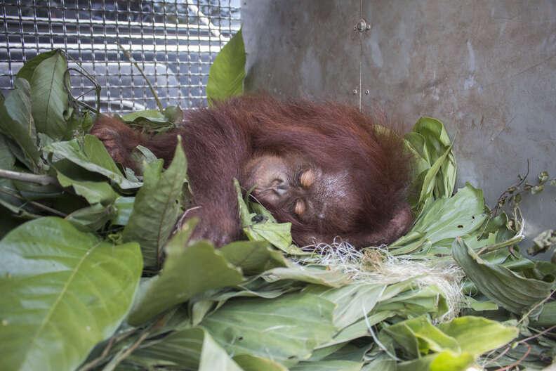 Rescued orangutan sleeping in transport kennel