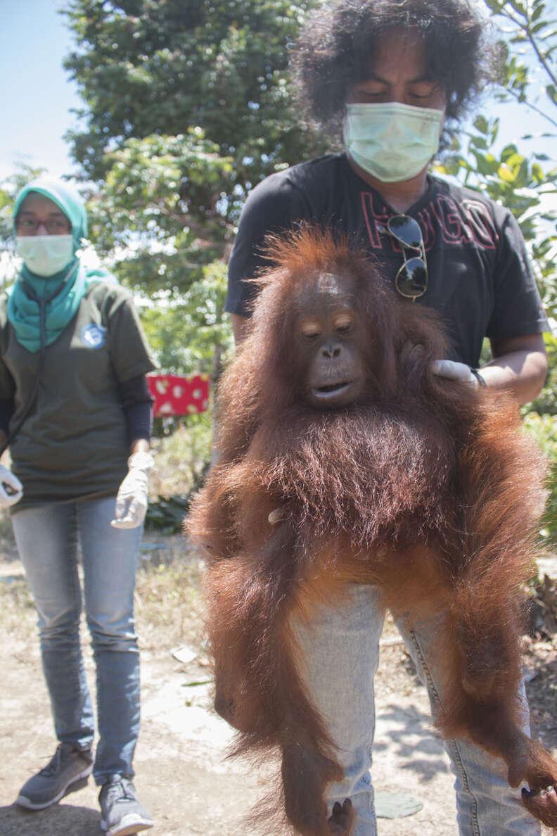People holding rescued orangutan