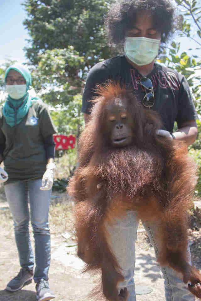 People holding rescued orangutan