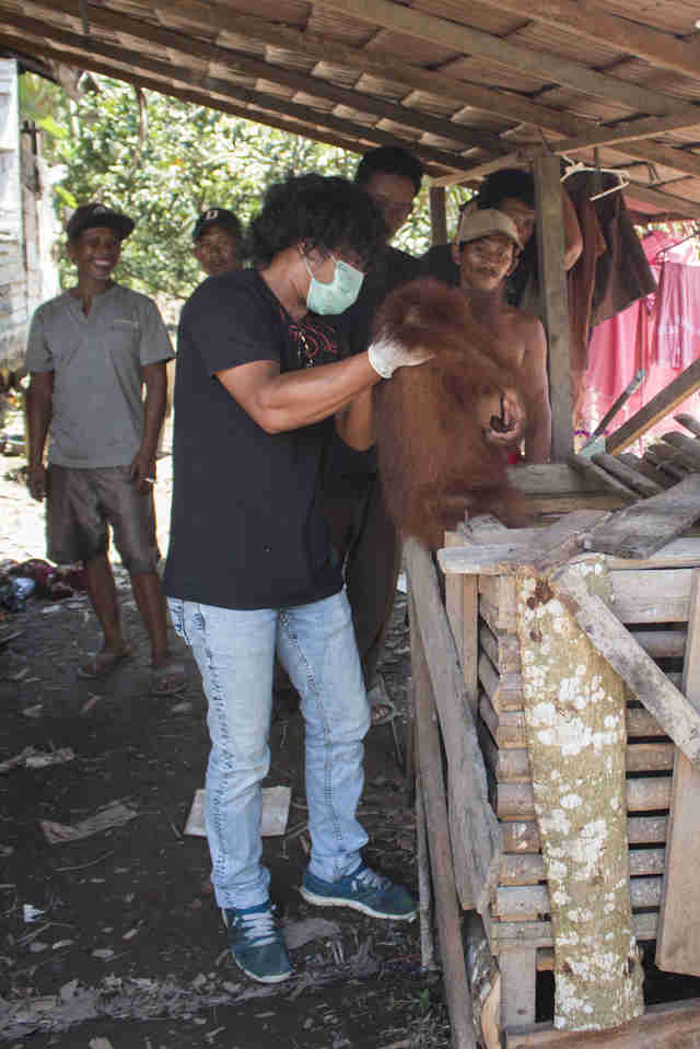 People freeing trapped orangutan from wooden box