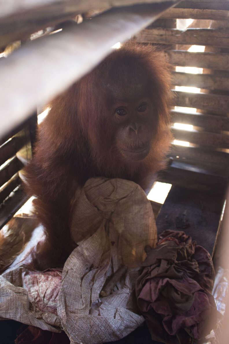 Orangutan inside wooden crate