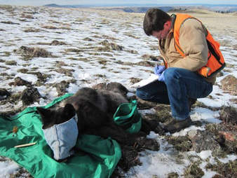 Endangered wolf being collared