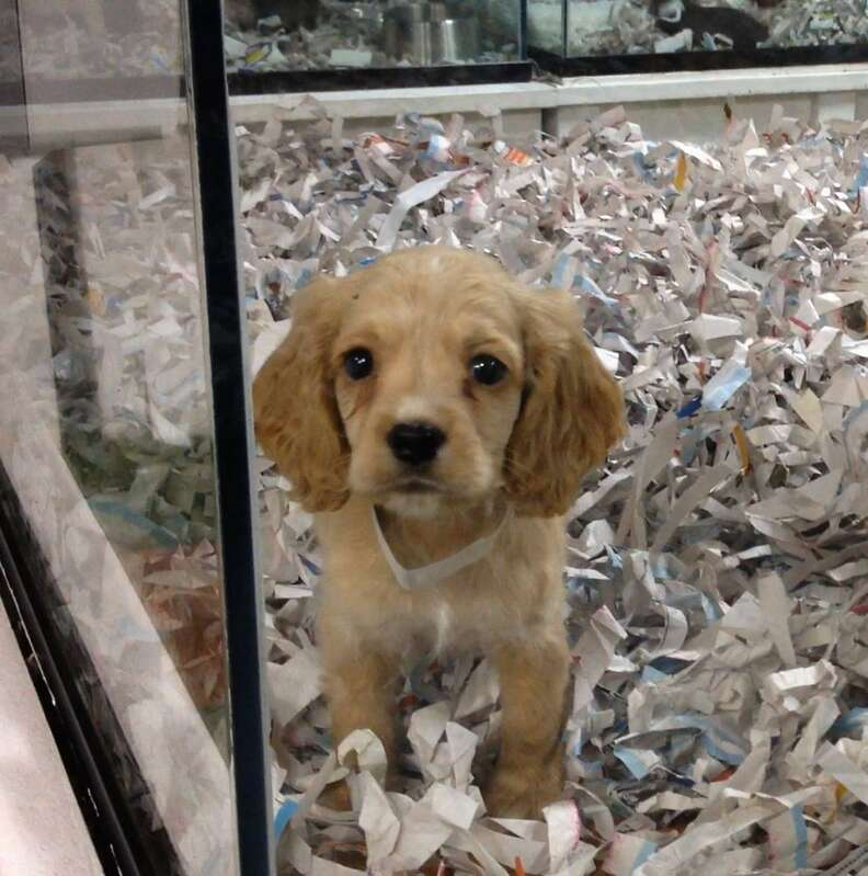 Puppy being sold in pet store