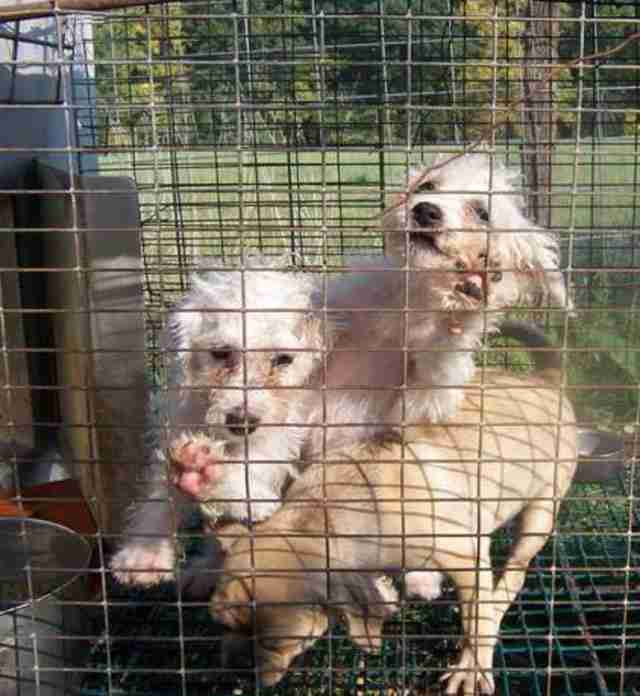 Puppy mill dogs in cage
