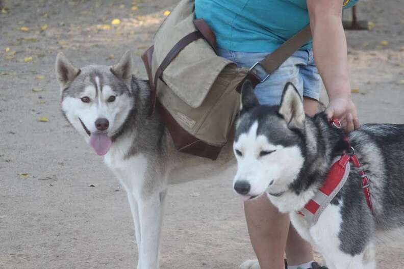 Huskies at dog park