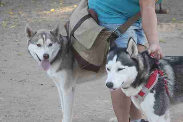 Huskies at dog park