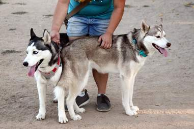 Rescued huskies at dog park