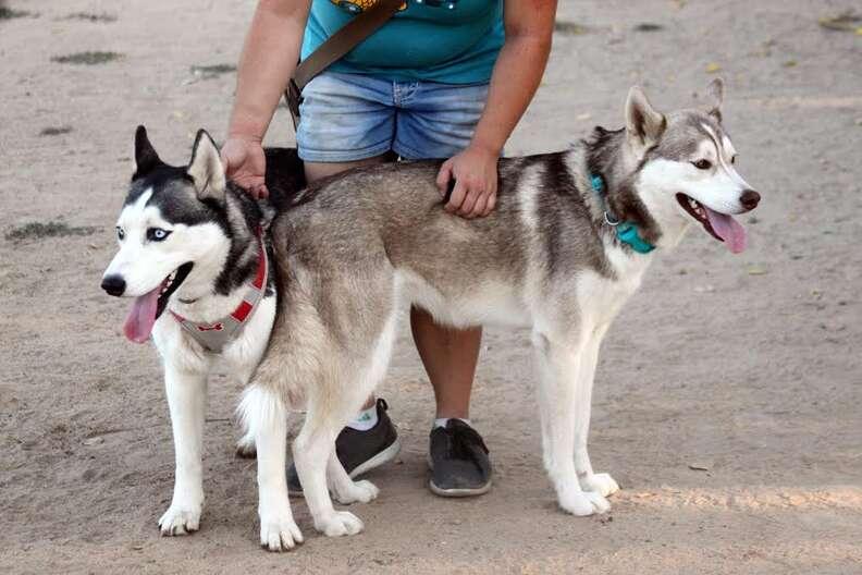 Rescued huskies at dog park