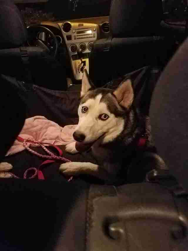 Rescued husky in car