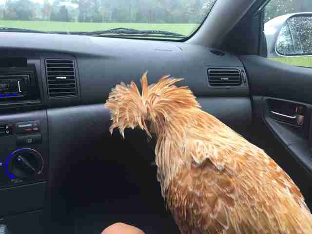 Appalachian Trail rooster being driven to Maryland sanctuary