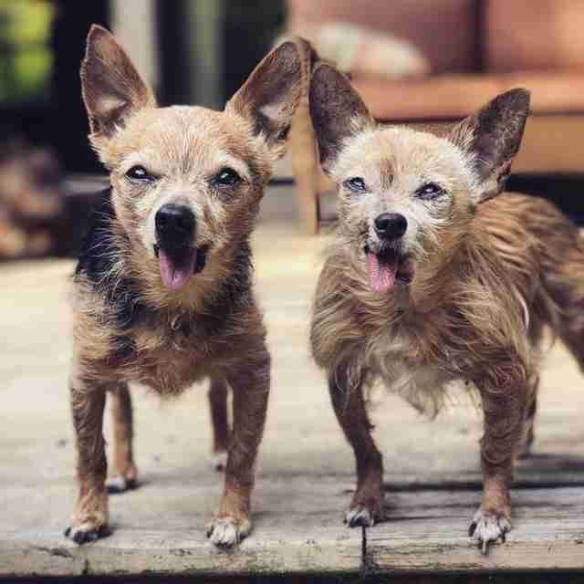 two senior chihuahuas with missing jaws