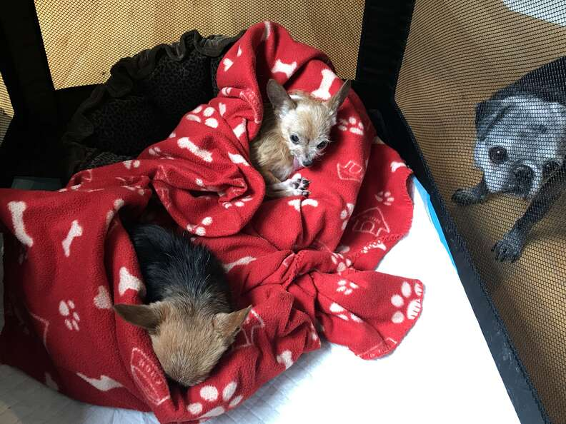 dogs snuggling in blankets together