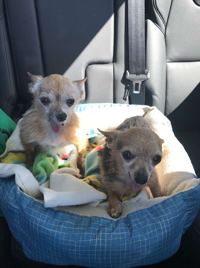 tiny chihuahuas in dog beds