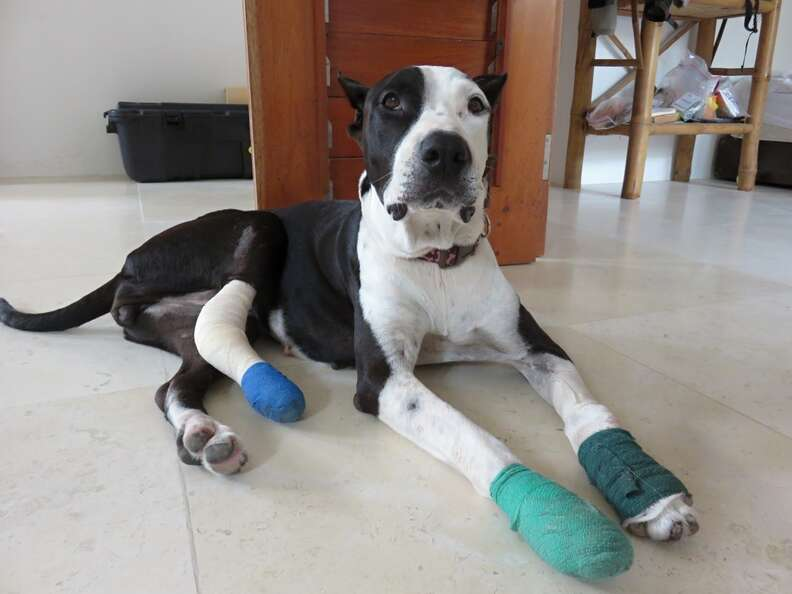 Rescue dog with bandaged legs