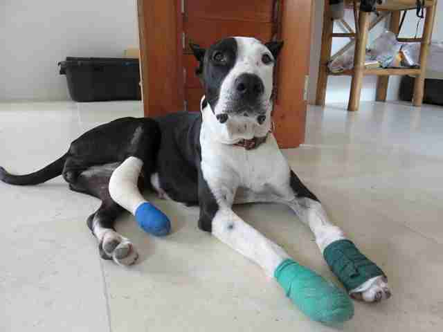 Rescue dog with bandaged legs