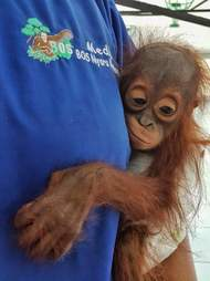 Baby orangutan saved in Borneo