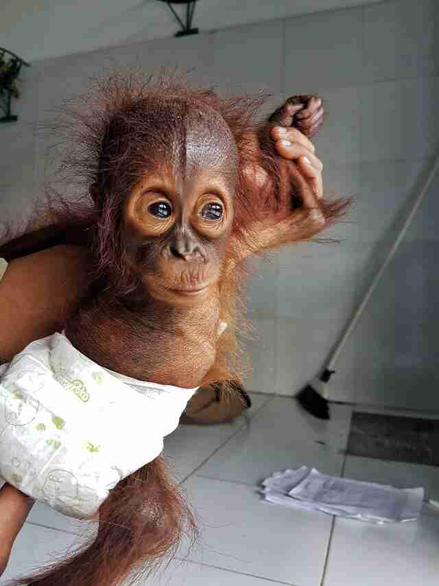 Rescued baby orangutan in diaper