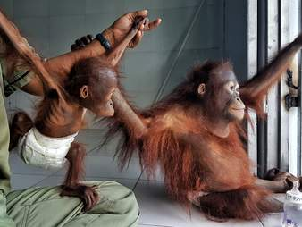 Rescued orangutans at rehabilitation center