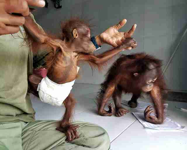 Orphaned orangutan meeting new friend