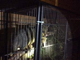 Possum saved from toilet