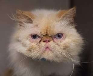 Rescued Persian cat