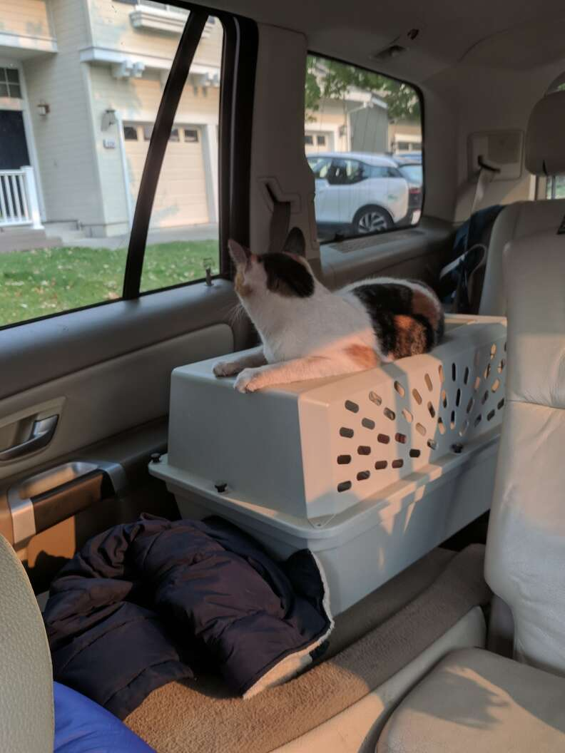 Cat on top of carrier inside car