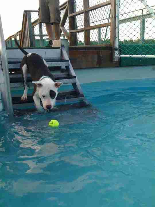 dog in swimming pool