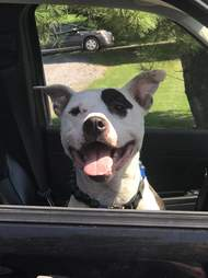 dog smiling out of car window