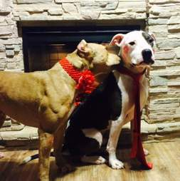 pit bull kissing other pit bull