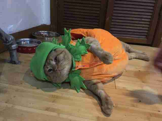 Fat orange cat in Halloween pumpkin costume