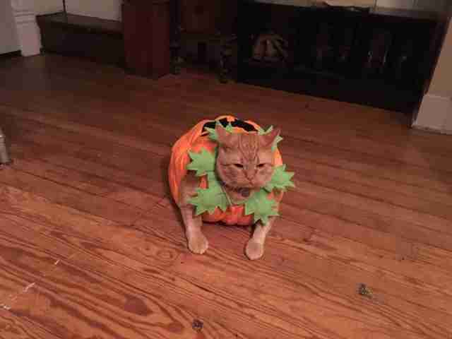 Fat orange cat in pumpkin costume for Halloween