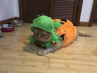 Fat orange cat in pumpkin costume