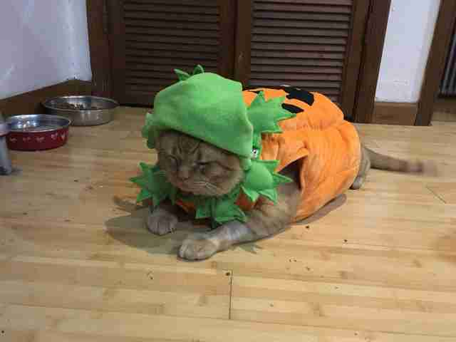 Fat orange cat in pumpkin costume