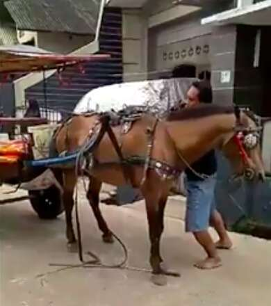 Working horse attached to carriage