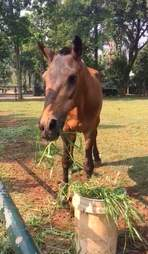 Rescued horse eating grass