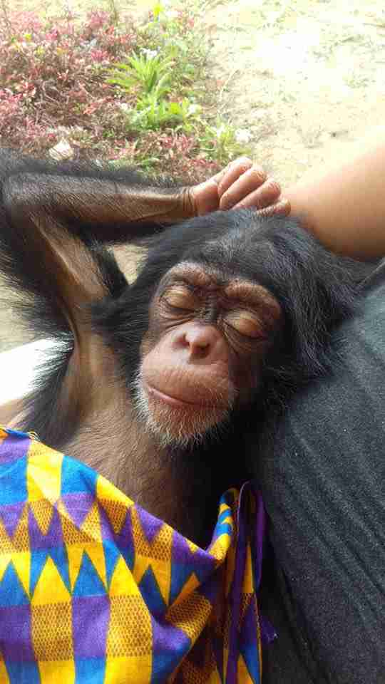 Chimp saved in Liberia