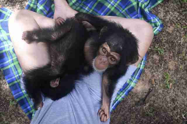 Rescued chimp