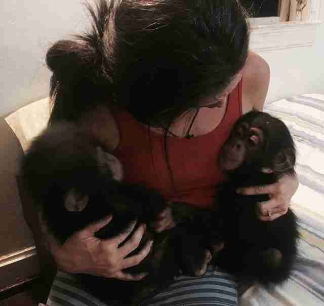 Rescued chimp with rescuer meeting new friends