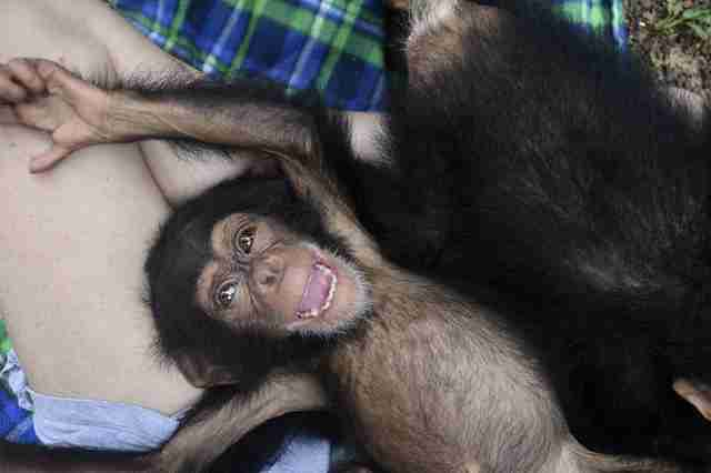 Rescued baby chimp smiling