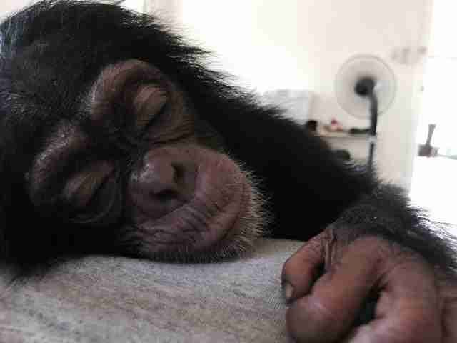 Sleepy rescued chimp