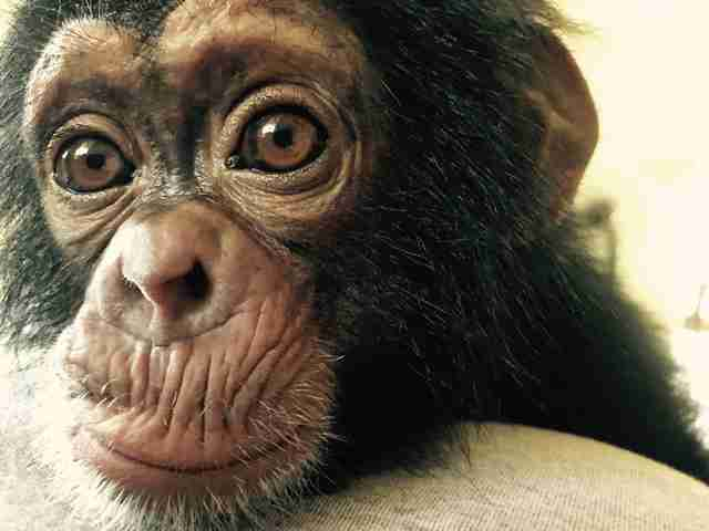 Chimp rescued by sanctuary