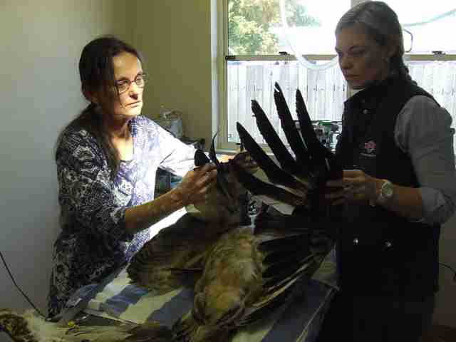 People helping eagle with mangled wing