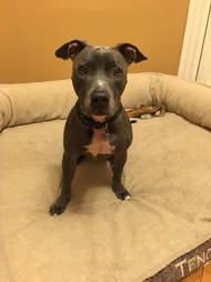 pilot adopts pit bull