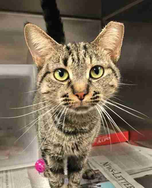 Cat up for adoption in Baltimore, Maryland, shelter
